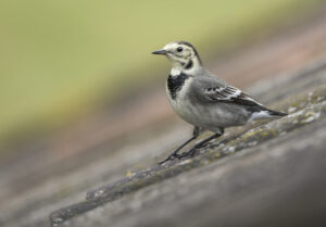 Div 1-1st- Pied Wagtail-Brad Collett