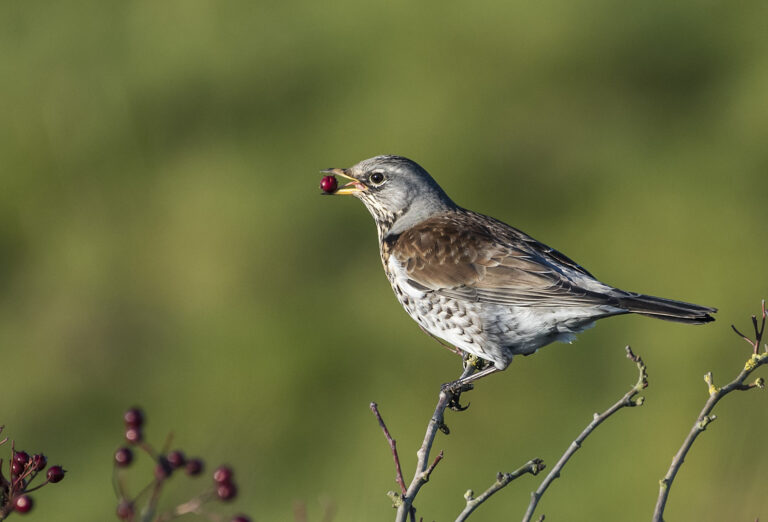 Div 1 - 2nd- Fieldfare Feeding- Brad Collett