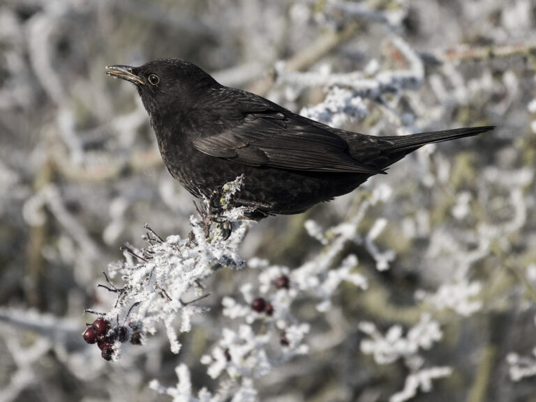 Div 1-HC- Blackbird Food Hunting on Frosty Morning-Brad Collett