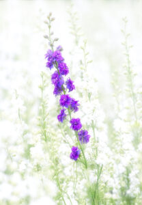 C- A sea of delphiniums-2-David Gamm