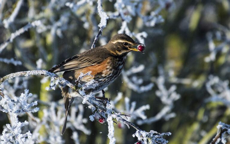 Div 1-C- Redwing Feeding on Hawthorn- Brad Collett