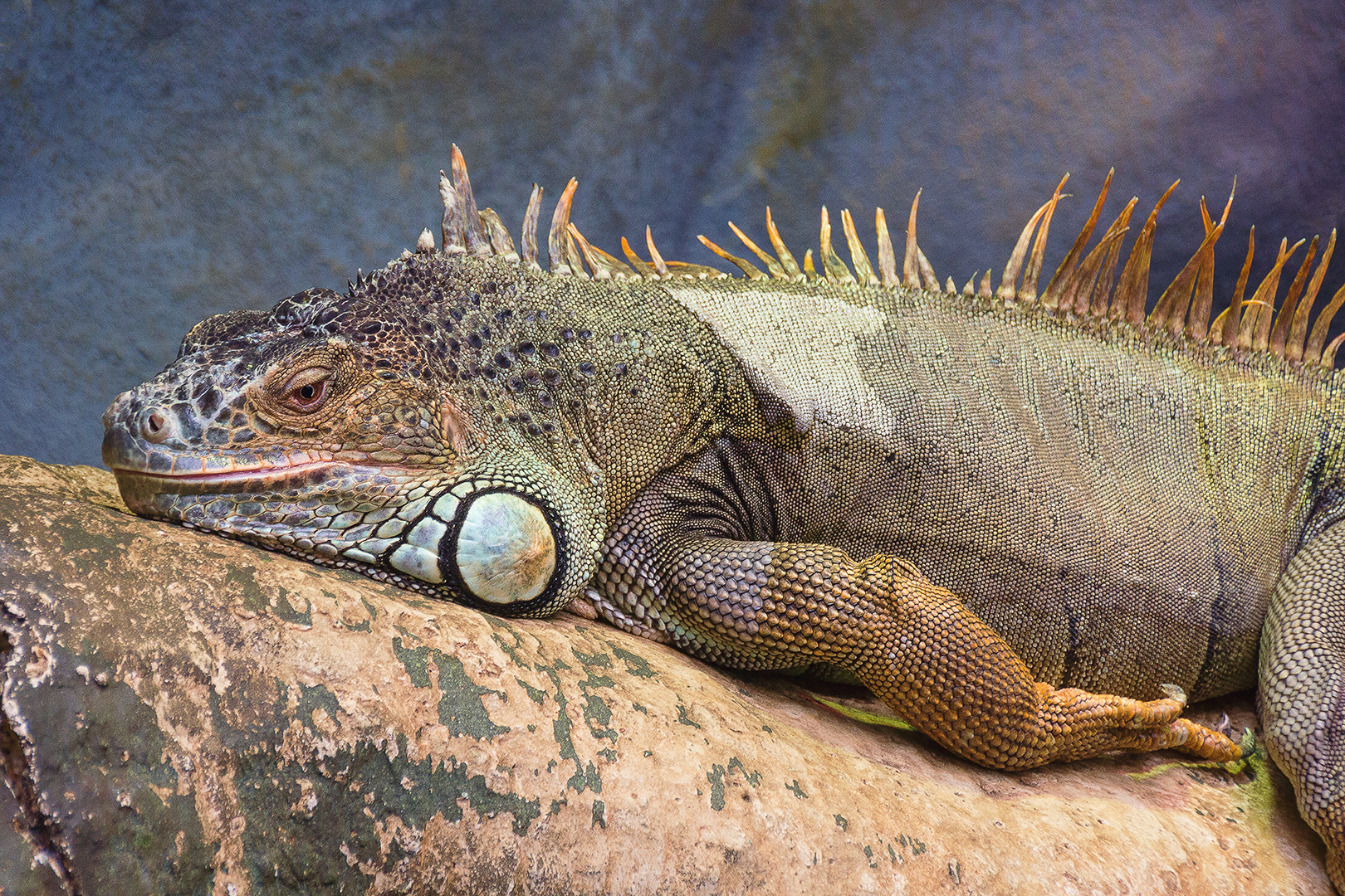 George The Iguana. David Bishop
