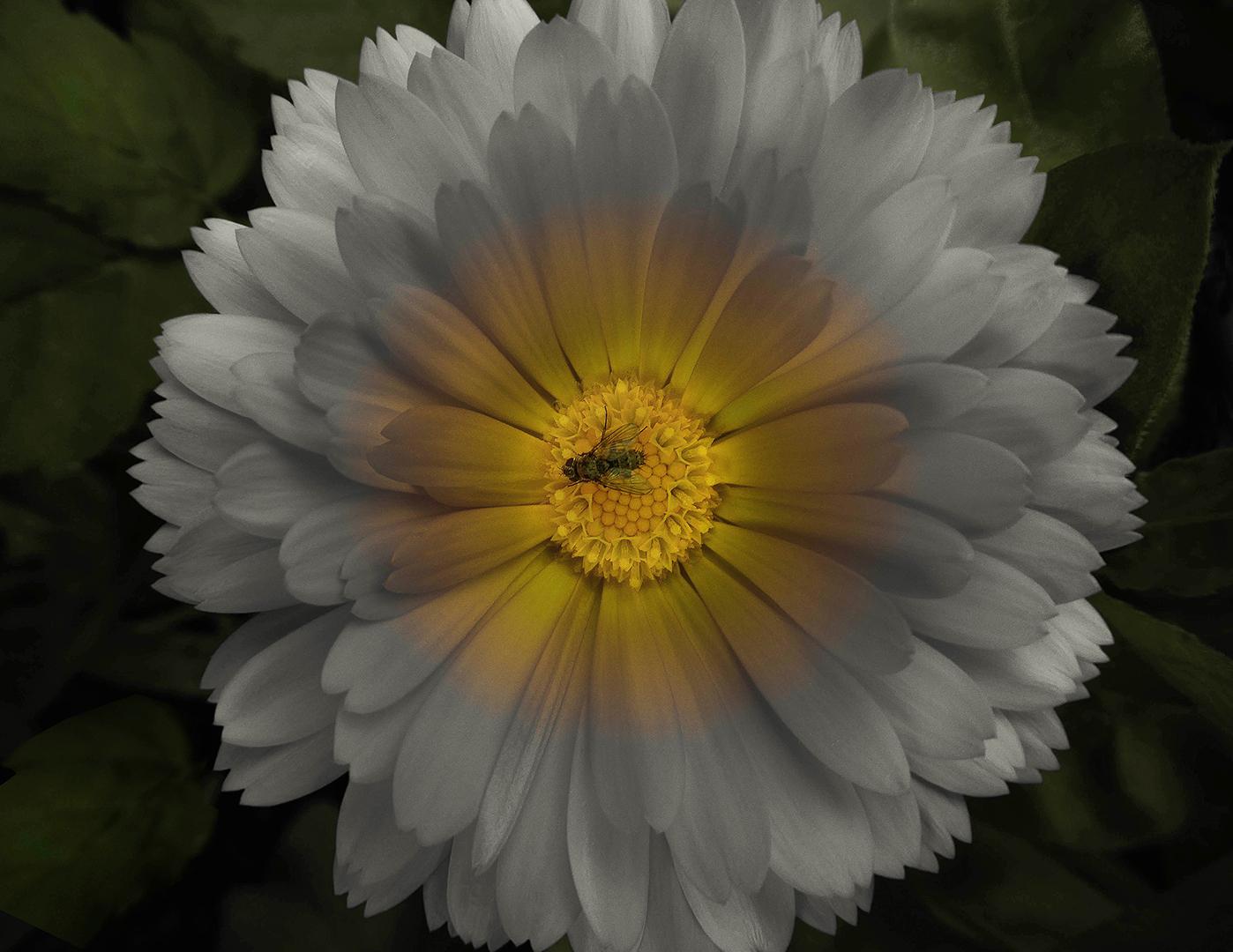 Div 2 - 13 Points -55 Illuminating flower -Andrew Daniels