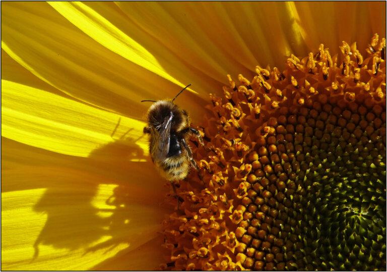 18 Points - Bee on Sun Flower - Brian Wetton